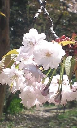 konohana-sakura.jpg